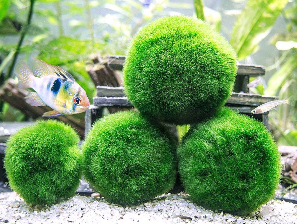 18 Benefits of Marimo Balls ( How many per Gallon? )